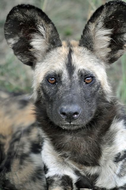 .African spotted wild dog