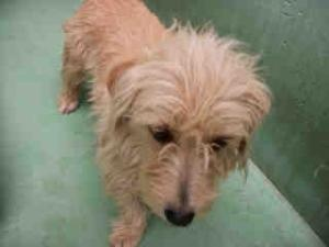 A924809 (Selina) - URGENT Kern Shelter - Senior is an adoptable Tibetan Terrier Dog in Bakersfield, CA. PLEASE SAVE ME. I AM CURRENTLY AT THE KERN COUNTY BAKERSFIELD ANIMAL SHELTER. To obtain further ...