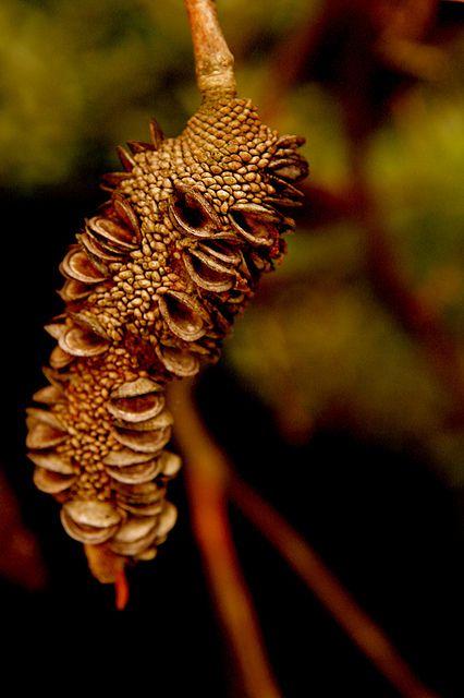 banksia seed pod