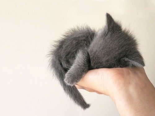 one little fuzzy gray kitten