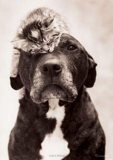 Kitten on Dog #animals #kitten #dog