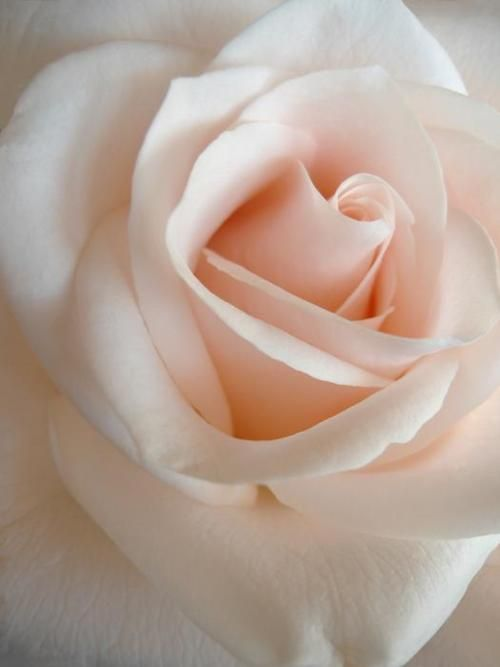 Rose - how beautiful !