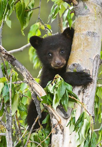 Black Bear Cub    Canadian Rockies, Alberta, Canada