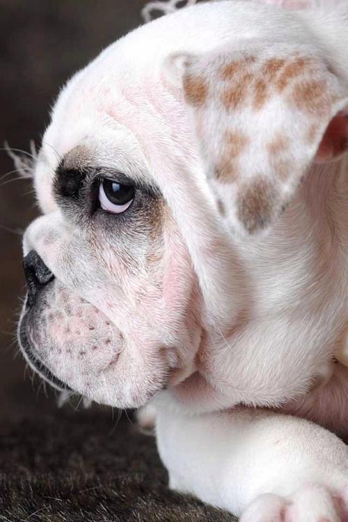 a beautiful face, I just love bulldogs