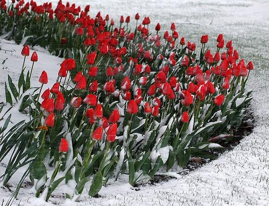 Snow Tulips