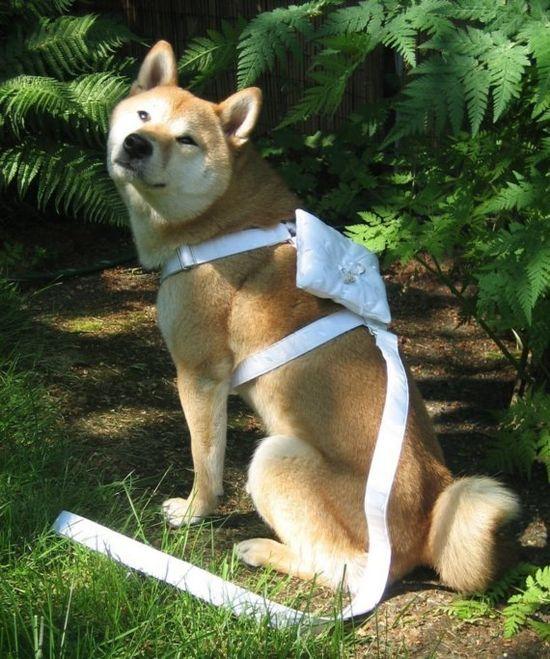 Ring bearer wedding harness for dogs