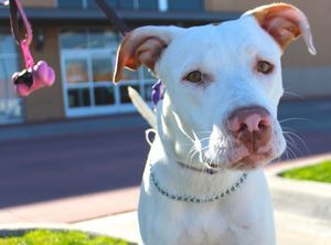 "Abby is an adoptable Pit Bull Terrier Dog in Wylie, TX. IMPORTANT NOTE: Please click on ""Read More about this Pet"" at the bottom for additional information regarding this pet and adoption details. Abb..."