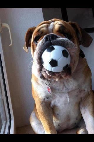 English Bulldog ~ who wants to play?