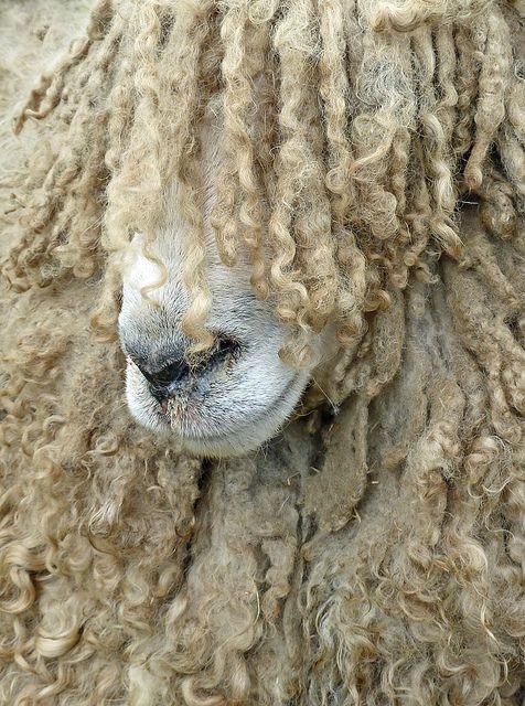 ... bed head sheep ...