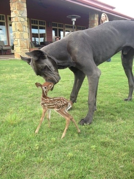 A Great Dane who is friends with a fawn.