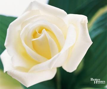 Cream-Colored Rose