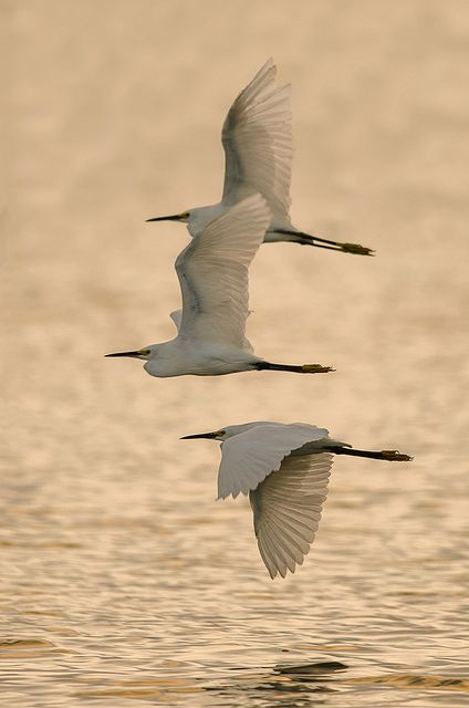 Snowy Egrets -- by Ray (Bird Photography)