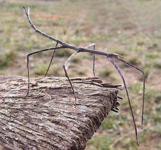 Australian Walking Stick (Ctenomorpha chronus) by Fir0002, wikimedia: A Walking Stick adapts to its surroundings by appearing to be a twig. It is only active at night (nocturnal). It has claws and suction pads on its feet to climb stems and branches. Nymphs can regrow or regenerate a leg pulled off while escaping a predator. Some people keep them as pets! http://en.wikibooks.org/wiki/Wikijunior:Bugs/Walking_Stick #Walking_Stick
