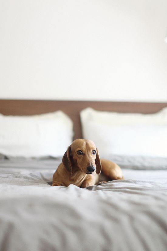 Dachshund#Baby Dogs