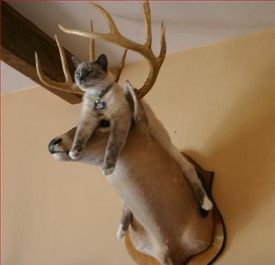 lol, if i had a deer head my cat would do this!