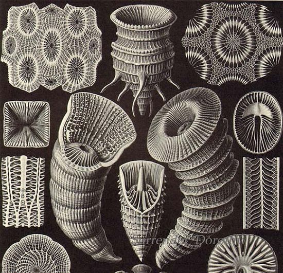 Coral Formations Haeckel Print Natural History Oceanography Victorian Scientific Lithograph