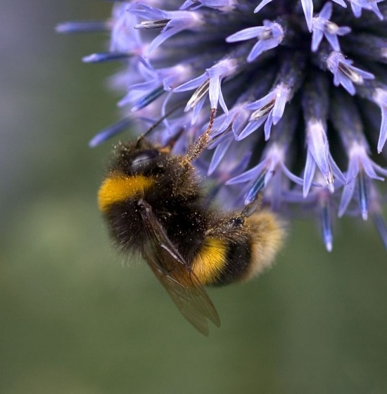Bumblebees, buzzing inside flowers and coming out with their legs covered in pollen.