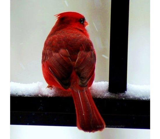 Cardinal in the Snow. Beautiful.