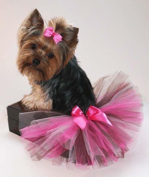 Yorkie #pet girl #pet boy #Cute pet