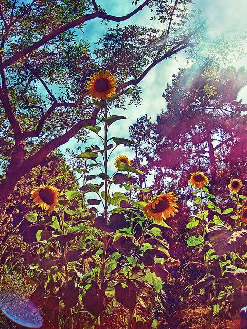 sunflowers. :)