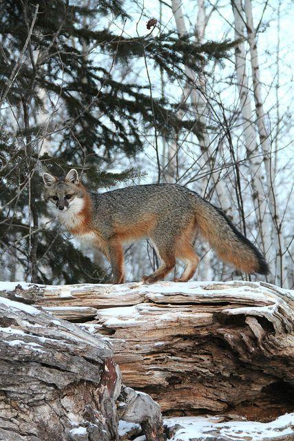 Grey Fox 01 by MLGreenly, via Flickr