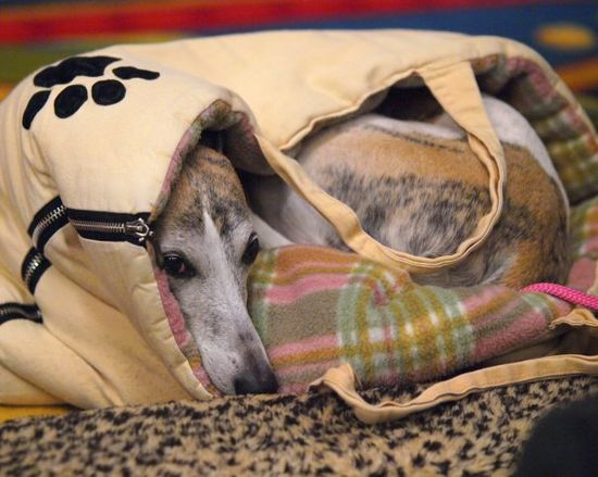 Whippets find ways to be warm