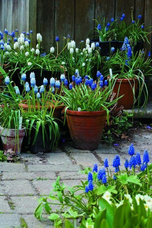 All blue in terra cotta pots