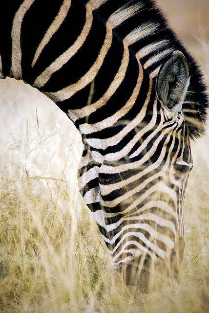 .Zebra
