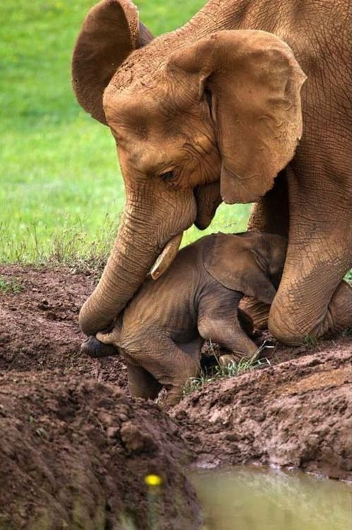 Elephant rescues baby trapped in mud.  Photo by Marina Cano
