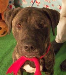 PBF Maestro is an #adoptable Pit Bull Terrier Dog in #Muskegon, #MICHIGAN. I am Maestro!!! I will be your instructor for this evening. Let me tell you about Pit Bull Terriers. They're just dogs. They're not bo...