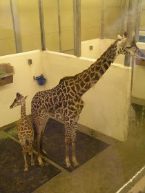 Baby Giraffe - Just a few months old and over seven feet tall - Cinncinati Zoo