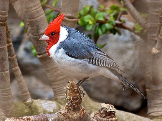 Red-headed Cardinal Hawaii