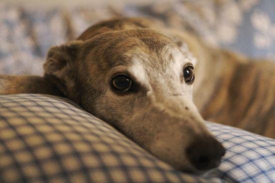Greyhound :)