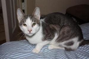Otis is an adoptable Oriental Short Hair Cat in Cypress, TX. You can fill out an adoption application online on our official website. rescued from BARC city pound I'm your typical oriental kitty with ...