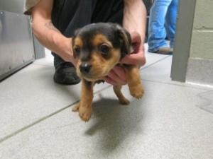 102490 is an adoptable Terrier Dog in Joplin, MO.