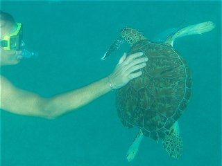 swim with the turtles in Barbados