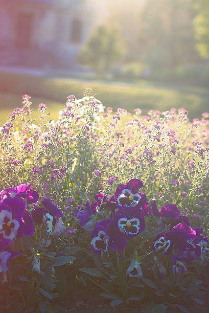 Pansies - my favorite flower