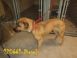 Diesel is an adoptable Shar Pei Dog in Beckley, WV. Diesel is a beautiful boy that needs a lot of love and attention. He is a very strong boy and has a lot of energy. He was owner turned in and is rea...