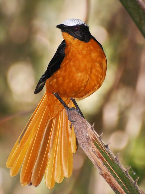 The White-crowned Robin-Chat Cossypha Albicapilla, is a species of bird in the Muscicapidae family. It is found in Benin, Burkina Faso, Cameroon, Central African Republic, Ivory Coast, Ethiopia, Gambia, Ghana, Guinea, Guinea-Bissau, Mali, Niger, Nigeria, Senegal, Sierra Leone, Sudan & Togo. Its natural habitats are dry savanna and subtropical or tropical moist shrubland. For @Debra Brown