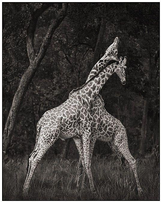 ? Black & white Wild Animals – Dangerous, Still Cute