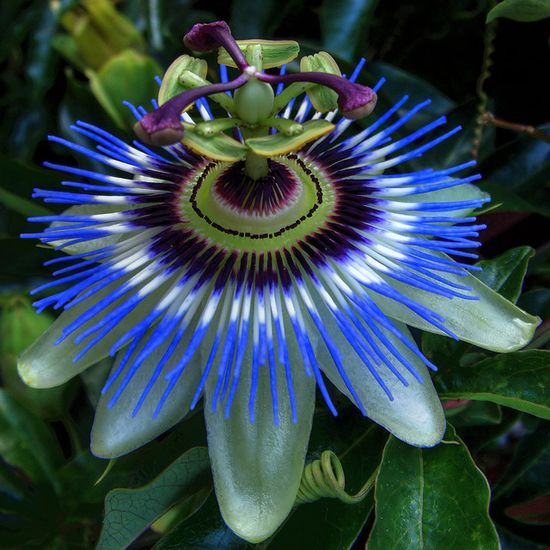 """Passiflora """"passion vine"""". i used to have these in my garden, my favorite flower, they are stunning"""