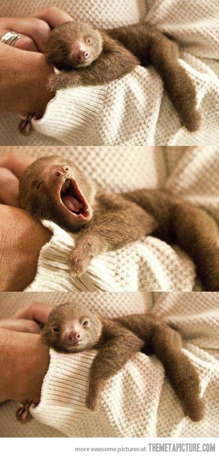 Baby sloth yawning