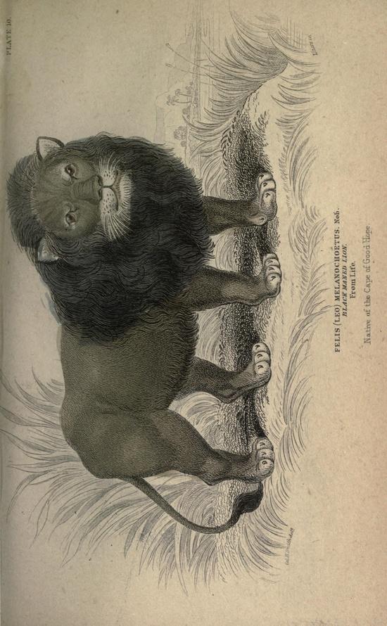 Black maned lion. The naturalist's library. Conducted by Sir William Jardine. v. 15: Mammalia v. 1 (Introduction to Mammalia; Memoir Dru Drury)  Edinburgh,W. H. Lizars; [etc., etc.]1833-  Biodiversitylibrary. Biodivlibrary. BHL. Biodiversity Heritage Library
