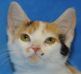 Tootsie is an adoptable Calico Cat in Durham, NC. For more information Phone: 919-560-0640 Email (cats): mailto:catinfo@ap... Web Site: www.apsofdurham.org The Animal Protection Society of Durham o...