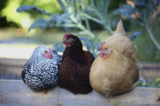 Chicken conference.  David de Yarza/photo
