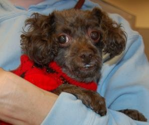 Peanut is an #adoptable Poodle Dog in #WestChester, #PENNSYLVANIA. Hi!  My name is Peanut!  Don't let the fact that I am 14 years old stop you from meeting me with me.  I have quite a lot of spunk left!  I would ...