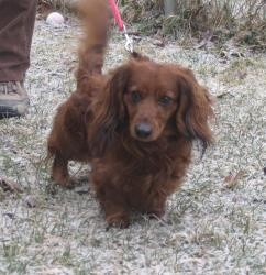 #PENNSYLVANIA ~ Rascal is a 2y/o #adoptable Longhair Dachshund in #Kittanning,  Very loving but has a strong  dachshund personality...would be best in a home without cats...does best with spayed females dogs...loves to go for walks. very active .....99 % housebroken...iIF INTERESTED IN RASCAL YOU MUST COMPLETE ONE OF OUR ADOPTION CONSUTLATON FORMS. PLEASE DO NOT COME TO SHELTER TO MEET HIM UNTIL YOU HAVE BEEN PRE-APPROVED ~ Orphans of the Storm, phone 724-548-4520