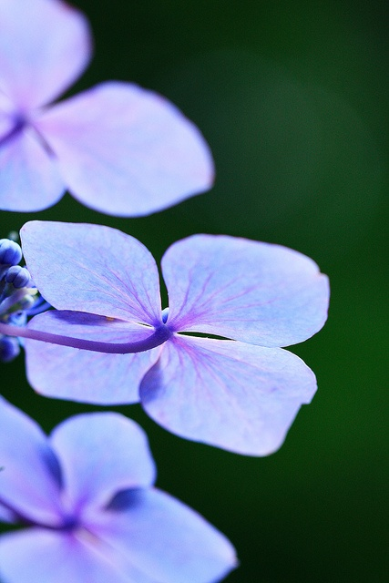 Blue Flowers - Beautiful Photo !