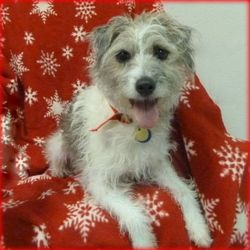 Lulu is an adoptable Terrier Dog in Glendale, AZ.  DOB: 10/14/07 Spayed Female Breed: Terrier mix Weight: 14.6 lbs. Some training/commands                     Requires backyard Very social - loves lap...