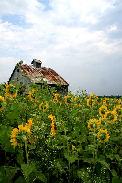 Sunflowers turning their faces to an old, weathered barn.